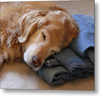 Golden Retriever Dog Forever On Blue Jeans Metal Print by Jennie Marie Schell