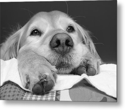 Golden Retriever Dog I See You Metal Print by Jennie Marie Schell
