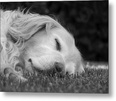 Golden Retriever Dog Sweet Dreams Black And White Metal Print by Jennie Marie Schell