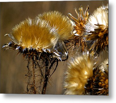 Golden Thistle Metal Print