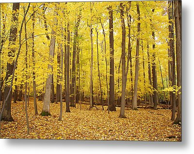 Golden Woods Metal Print by Aimee L Maher Photography and Art Visit ALMGallerydotcom