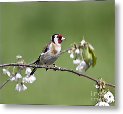 Goldfinch And Plum Blossom Metal Print by Liz Leyden