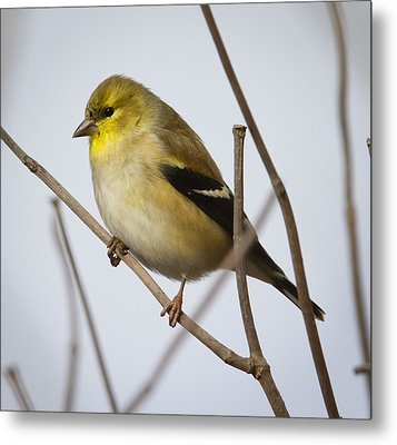 Metal Print featuring the photograph Goldfinch In It's Winter Coat by Ricky L Jones