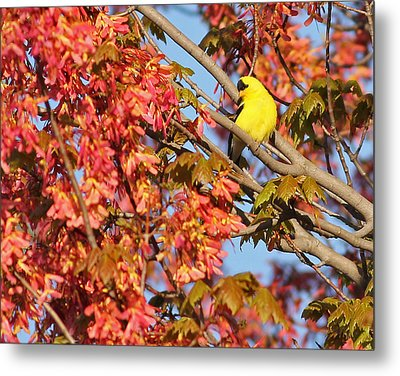 Goldfinch In Spring Maple Tree Metal Print by Brian Magnier