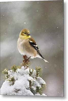 Goldfinch In The Snow Metal Print