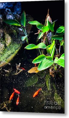 Metal Print featuring the photograph Goldfish In Pond by Silvia Ganora