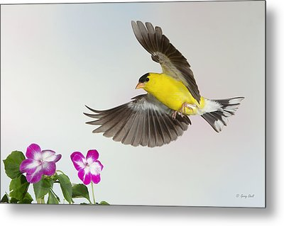 Metal Print featuring the photograph Goldie Confronting His Impatiens by Gerry Sibell