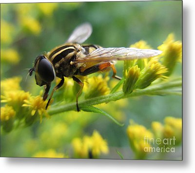 Good Guy Hoverfly  Metal Print by Martin Howard