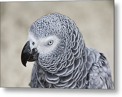 Good Listener-not Metal Print by Douglas Barnard