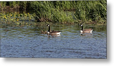 Metal Print featuring the photograph Goose Family In The Water by Leif Sohlman