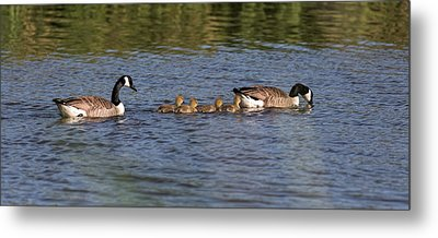 Metal Print featuring the photograph Goose Family by Leif Sohlman
