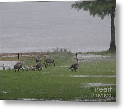 Goose Family Walk Metal Print by Joseph Baril