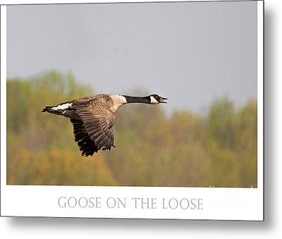 Goose On The Loose Metal Print