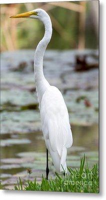 Gorgeous N Tall Great White Egret Metal Print by Sabrina L Ryan