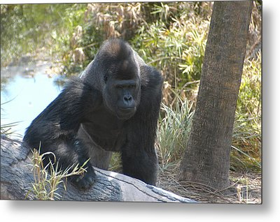 Gorilla 01 Metal Print by Donald Williams