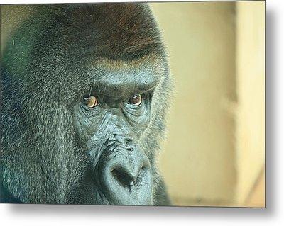 Gorilla's Look Metal Print by Adnan Elkamash