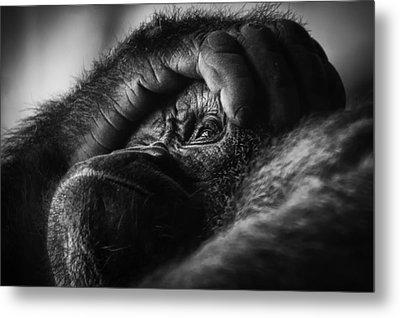 Gorilla Portrait Metal Print by Chris Boulton