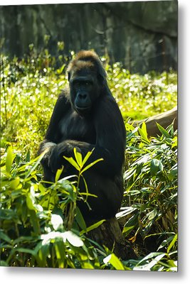 Gorilla Sitting On A Stump Metal Print