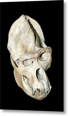 Gorilla Skull Metal Print by Dirk Wiersma