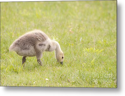 Metal Print featuring the photograph Gosling by Jeannette Hunt