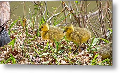 Goslings Metal Print