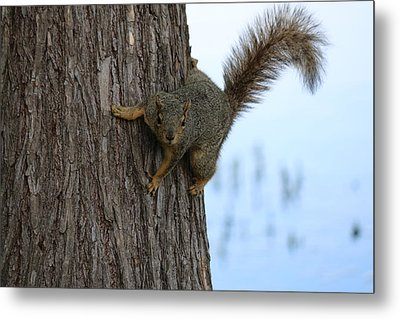 Lookin' For Nuts Metal Print by Christy Pooschke