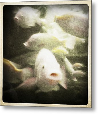 Metal Print featuring the photograph Gouramis by Bradley R Youngberg