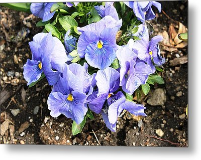 Metal Print featuring the photograph Graceful Pansies by Judy Palkimas