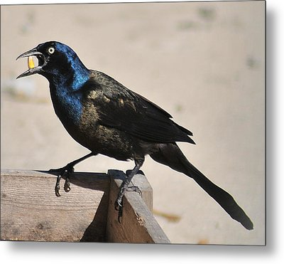 Grackle Chow Down Metal Print