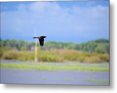 Grackle In Flight Metal Print by Bonfire Photography