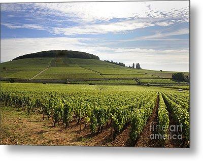 Grand Cru And Premier Cru Vineyards Of Aloxe Corton. Cote De Beaune. Burgundy. Metal Print