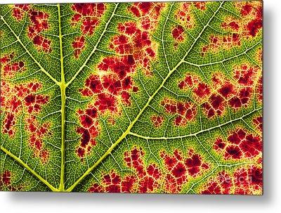 Grape Leaf Texture Metal Print