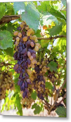 Grapes Growing In Bakersfield Metal Print by Ashley Cooper