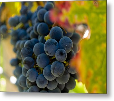 Grapes On The Vine Metal Print by Bill Gallagher