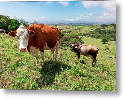 Grass Fed Cattle, Costa Rica Metal Print by Susan Degginger