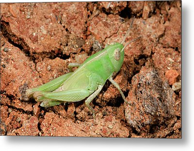 Grasshopper Aiolopus Strepens Nymph Metal Print by Nigel Downer