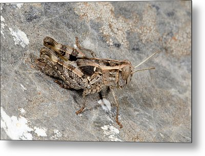 Grasshopper Calliptamus Barbarus Juvenile Metal Print by Nigel Downer