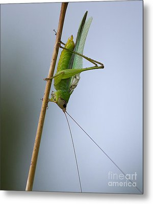Grasshopper Metal Print by Anne Rodkin
