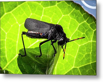 Grasshopper On A Leaf Metal Print by Philippe Psaila