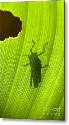 Grasshopper Silhouette Backlit By The Sun On A Leaf Metal Print