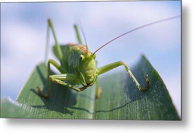 Grasshopper Metal Print by Tilen Hrovatic