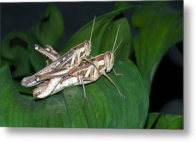 Grasshoppers Mating Metal Print by K Jayaram