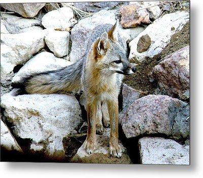 Gray Fox At The Oasis Metal Print by Feva  Fotos