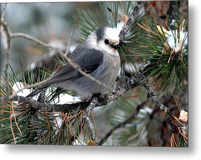 Gray Jay On A Snowy Pine Metal Print