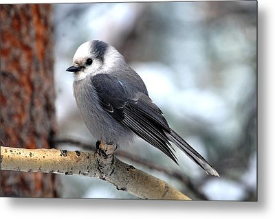 Gray Jay On Aspen Metal Print