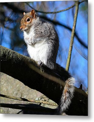 Gray Squirrel Metal Print by Kathy Eickenberg
