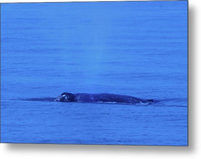 Gray Whalle In Puget Sound  Metal Print by Jeff Swan