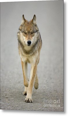 Gray Wolf Denali National Park Alaska Metal Print