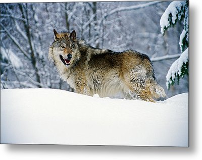 Gray Wolf In Snow, Montana, Usa Metal Print