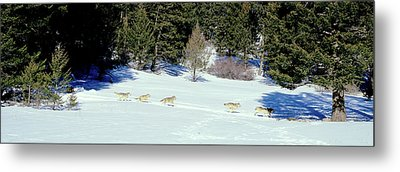 Gray Wolves Canis Lupus Running Metal Print